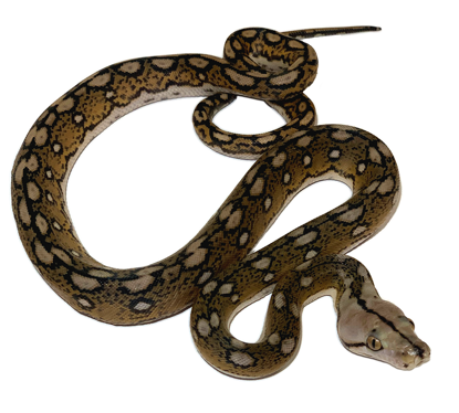 Picture of Motley Tiger Reticulated Python